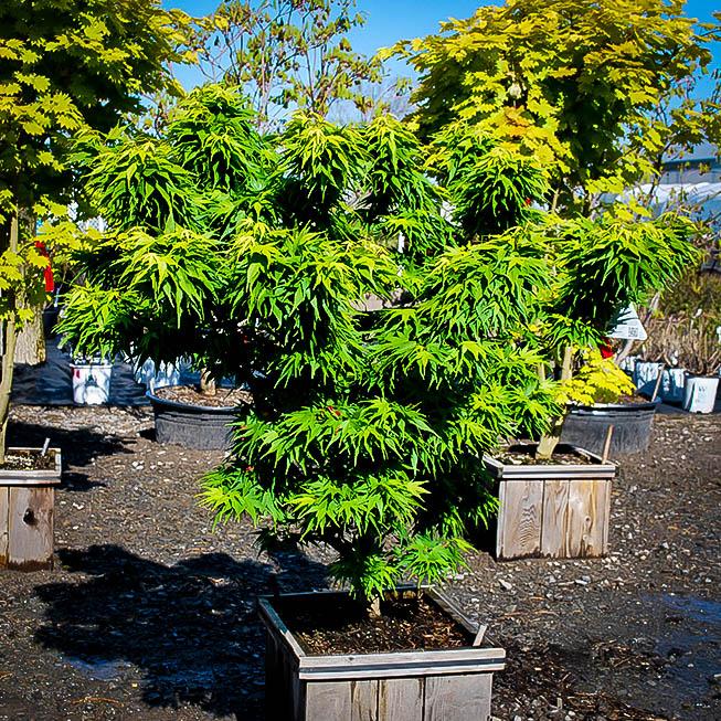 Mikawa Yatsubusa Dwarf Japanese Maple For Sale The Tree Center