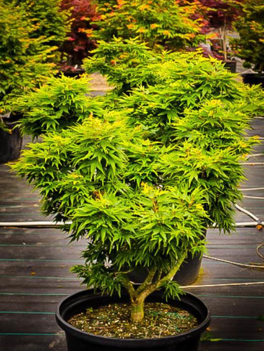 Mikawa Yatsubusa Dwarf Japanese Maple