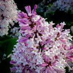 Miss Kim Lilac Flowers