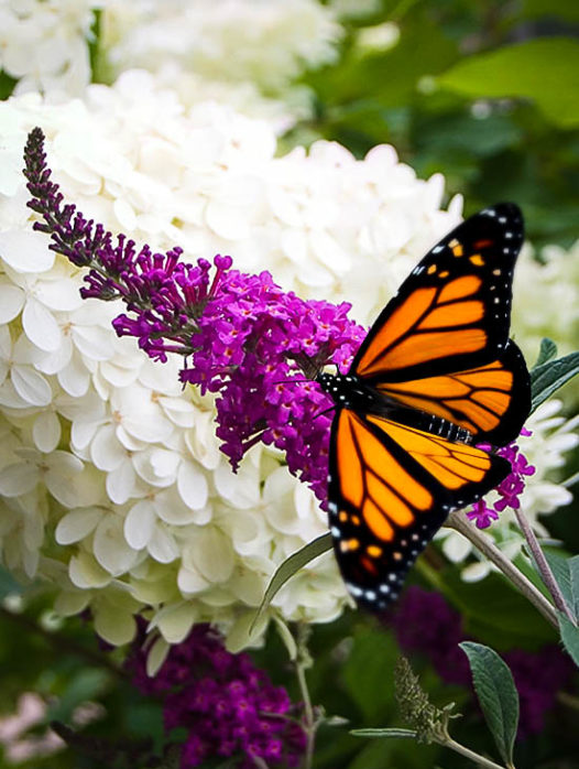 Royal Red Butterfly Bush For Sale The Tree Center