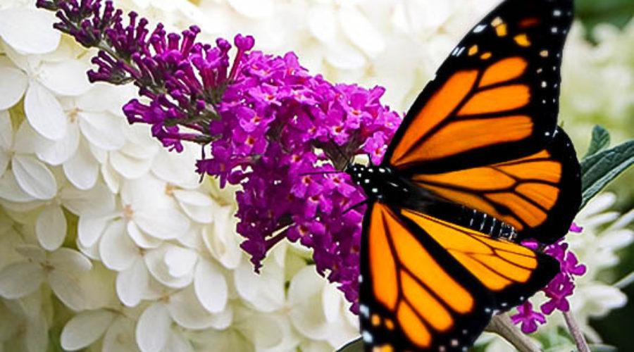 The Butterfly Bush Debate