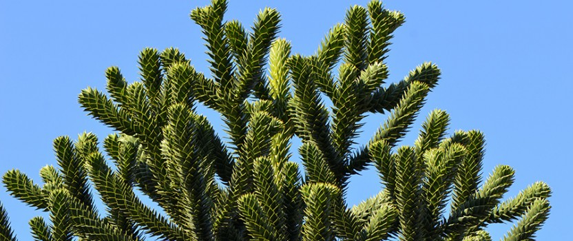 All About The Monkey Puzzle Tree