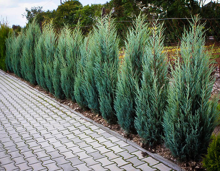 Moonglow Juniper For Sale Online The Tree Center