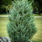Moonglow Juniper Tree