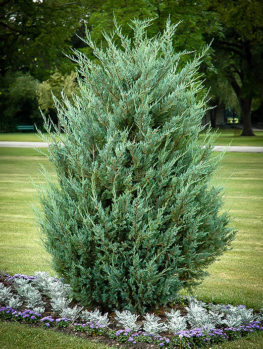 Moonglow Juniper