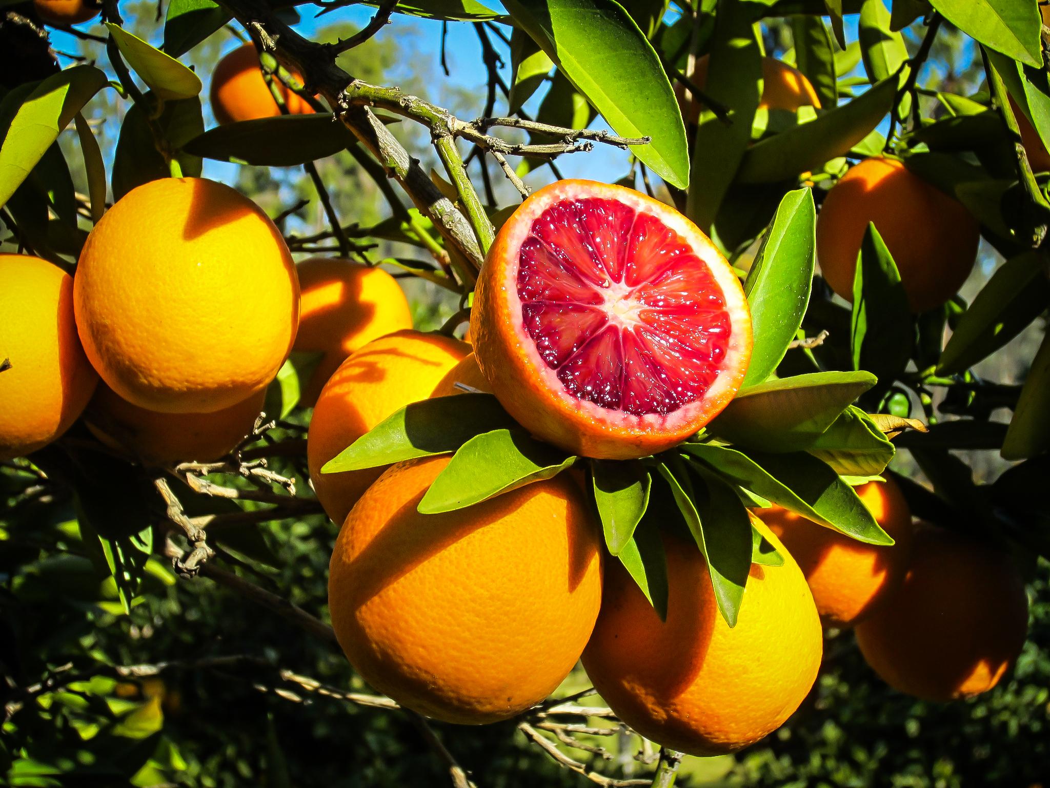 Moro Blood Orange Trees For Sale The Tree Center