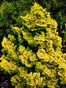 Nana Lutea False Cypress