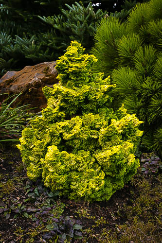 Nana Lutea False Cypress