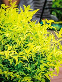 Gulf Stream Nandina Shrubs For Sale The Tree Center
