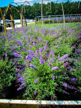Nanho Blue Butterfly Bush