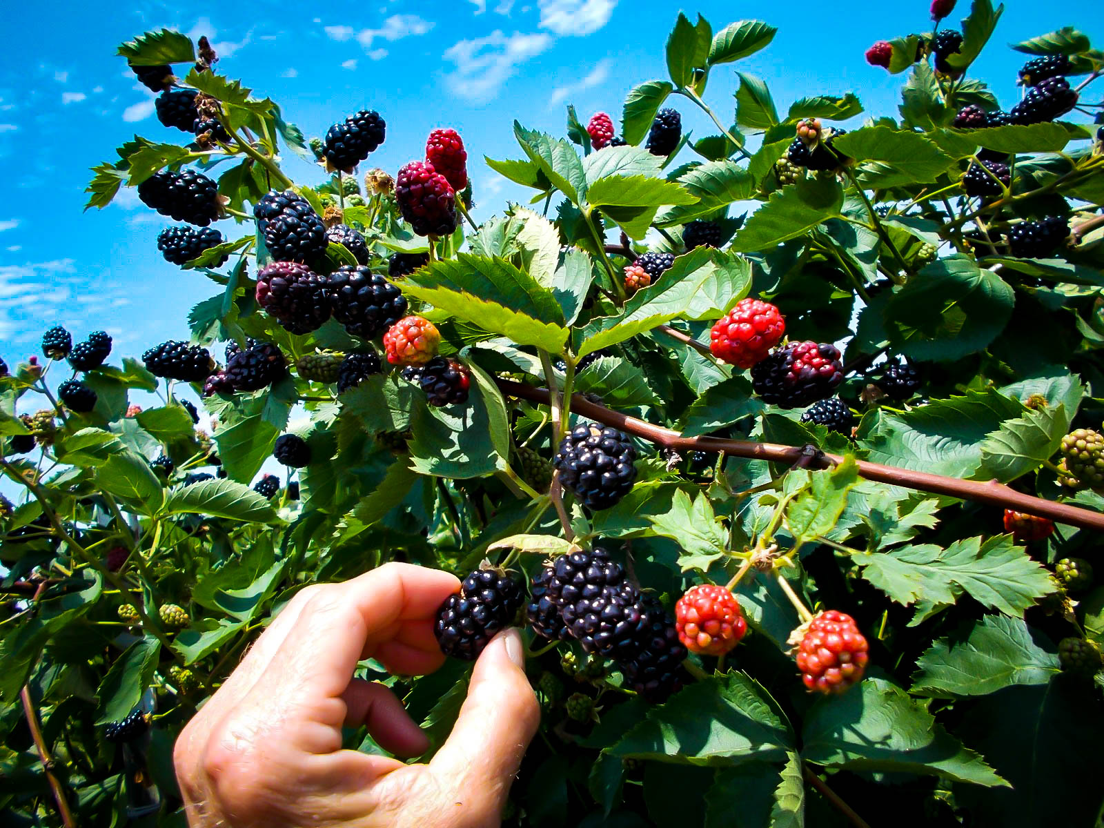Navaho Thornless Blackberry Bushes For Sale The Tree Center