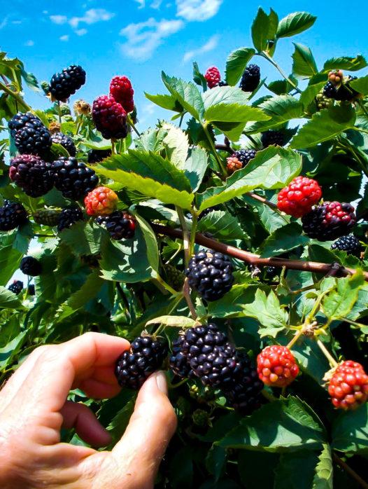 Natchez Thornless Blackberry Bush