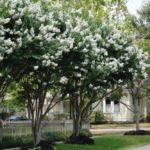 Natchez Crape Myrtle Trees