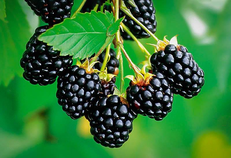 Navaho Thornless Blackberry Bushes For Sale The Tree Center