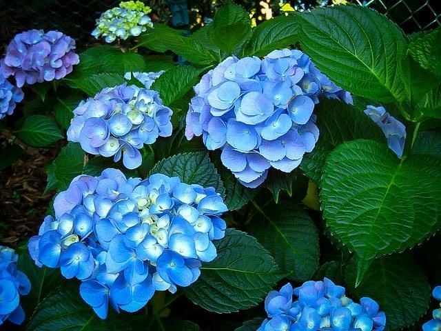 Nikko Blue Hydrangea Flowers