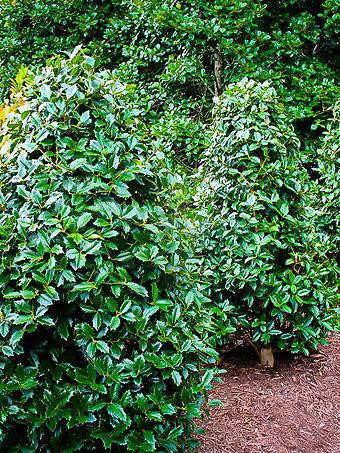 Oakland Holly Tree
