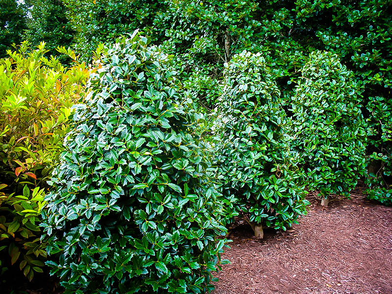 Southern Living Oakland Holly Tree