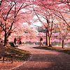Okame Cherry Blossom Trees In DC