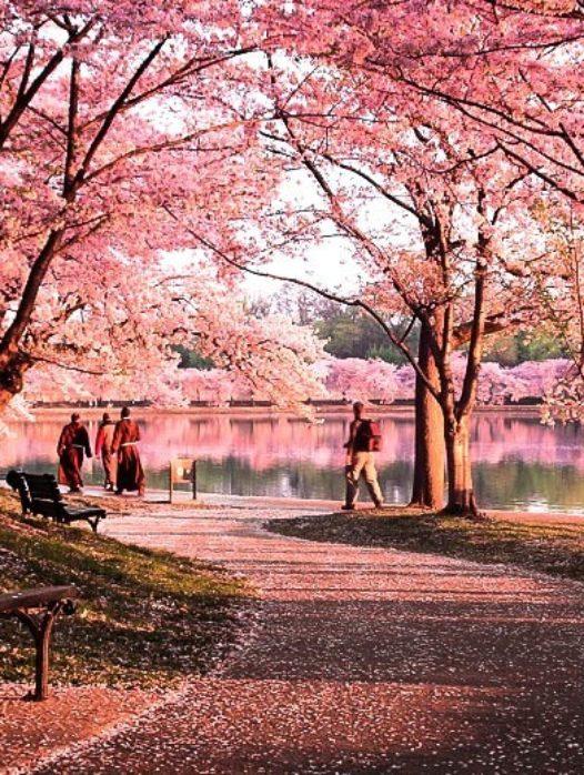 Okame Cherry Blossom Tree