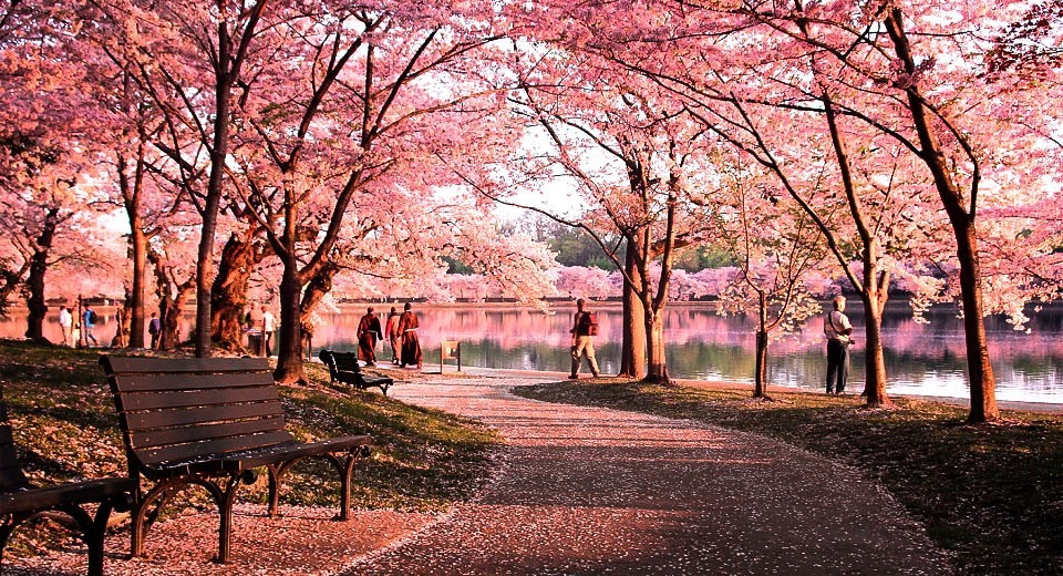 A Cherry Blossom Tree Wallpaper Collection