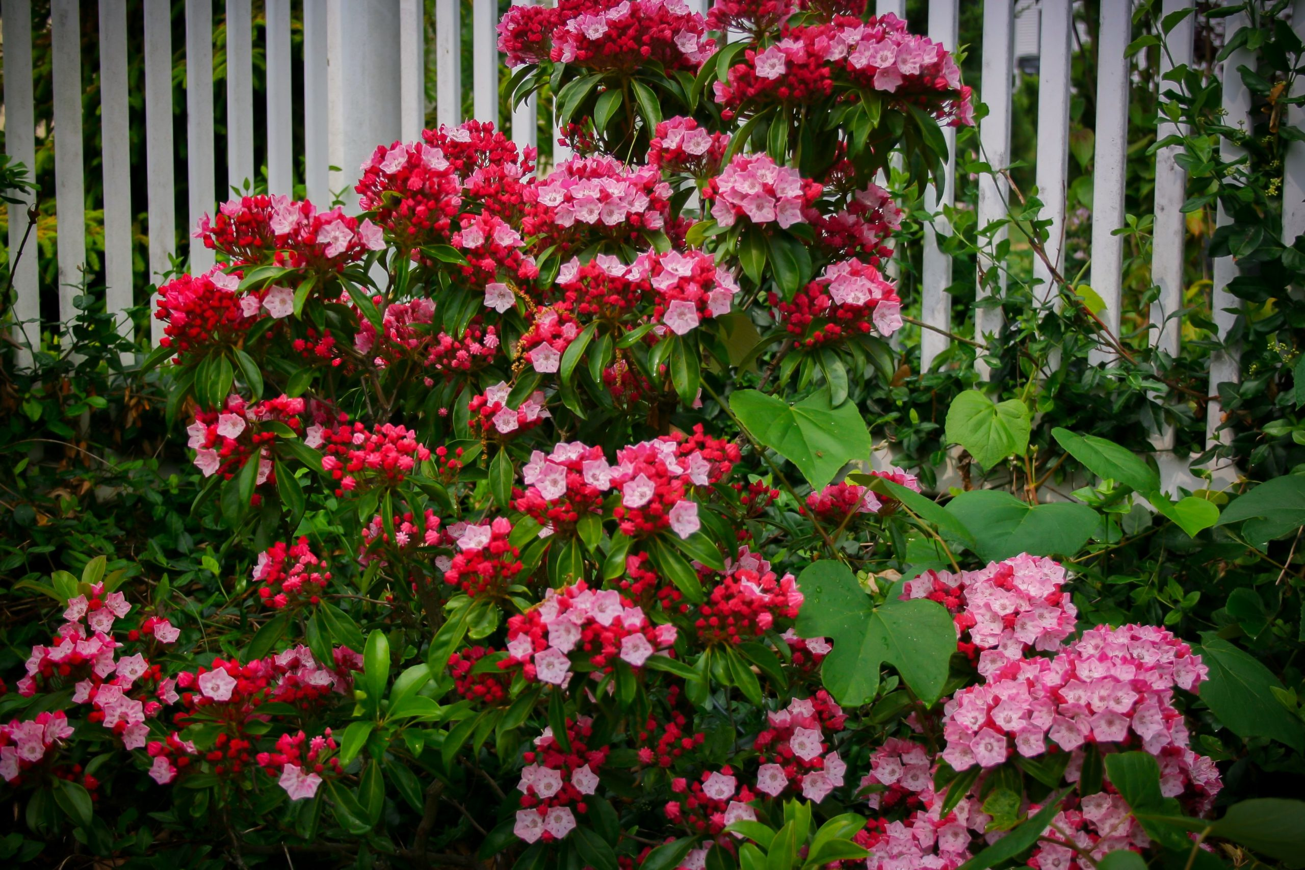 Olympic Fire Mountain Laurel Shrubs For Sale Online The Tree Center