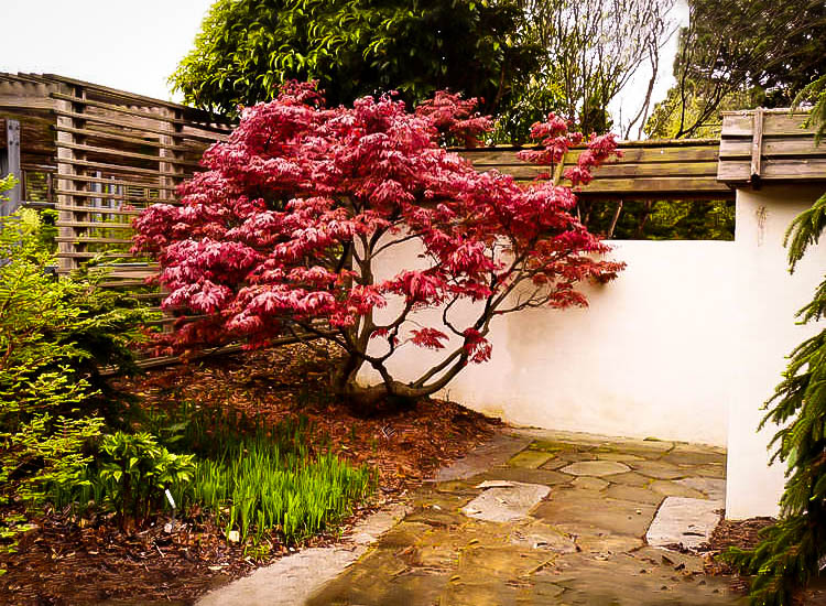 Oregon Sunset Japanese Maple Trees For Sale The Tree Center