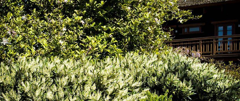 Cherry Laurel – the Top-Pick Easy Evergreen Shrub