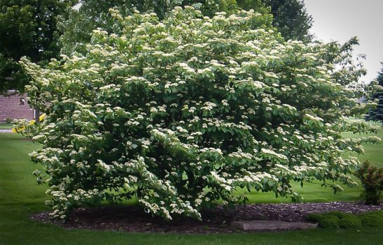 Pagoda Dogwood Tree In Bloom