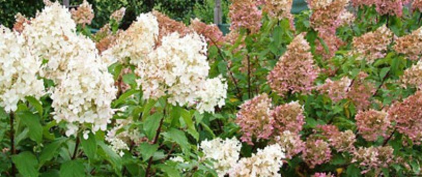New & Exciting Panicle Hydrangeas