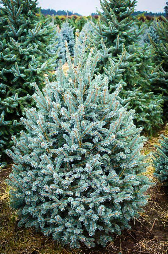 Paul S Select Norway Spruce Trees For Sale The Tree Center