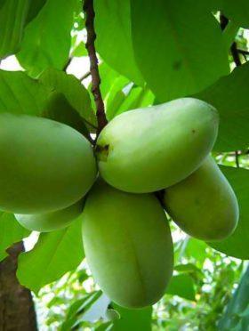 Pawpaw Tree Fruit