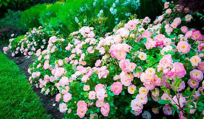 Peach Drift Rose Bushes For Sale The Tree Center