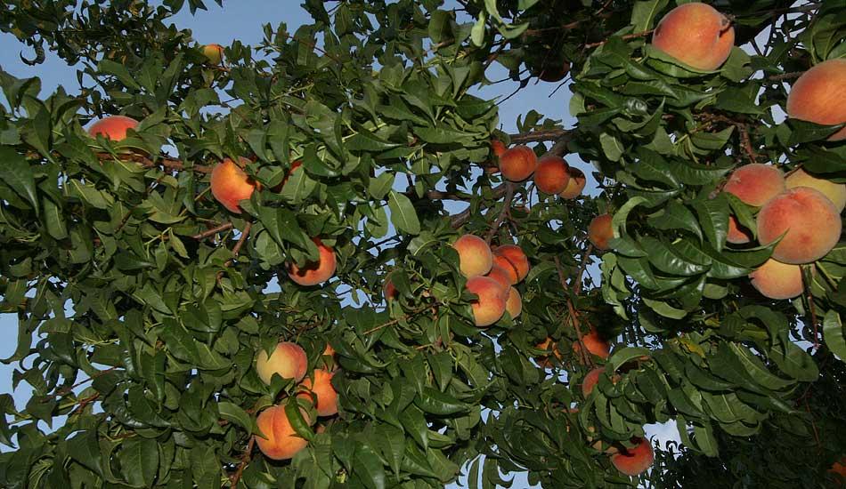 Peach Tree Care The Center