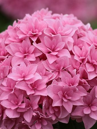 Perfection Hydrangea