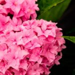 Perfection Hydrangea in bloom.