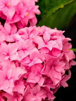 Perfection Double Delights Hydrangea