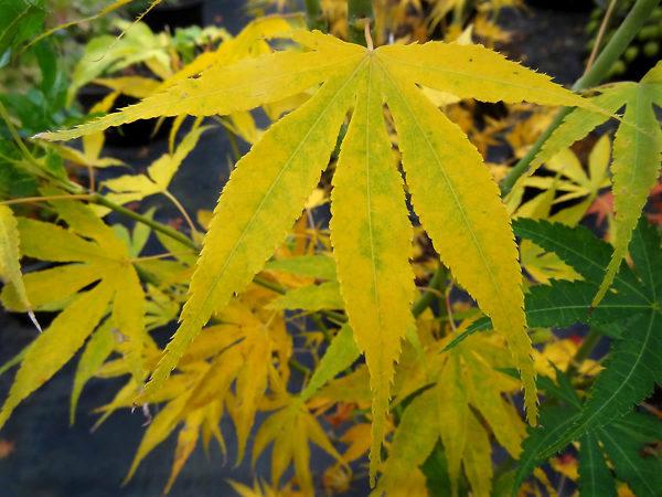 Peridot Flame Japanese Maple