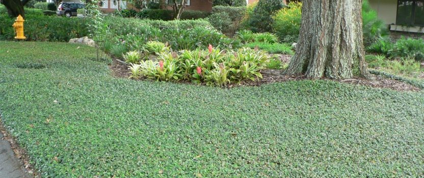 Groundcover Plants for Shady Places