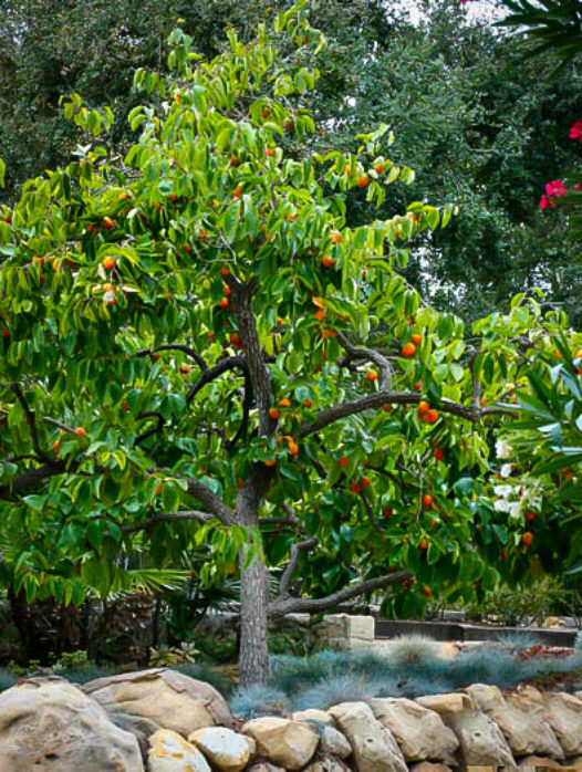 Hachiya Japanese Persimmon Tree