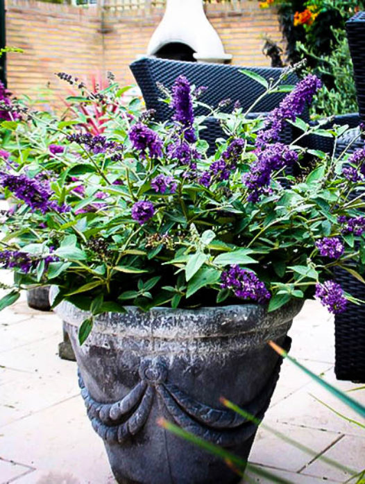Flutterby Petite Blue Heaven Butterfly Bush