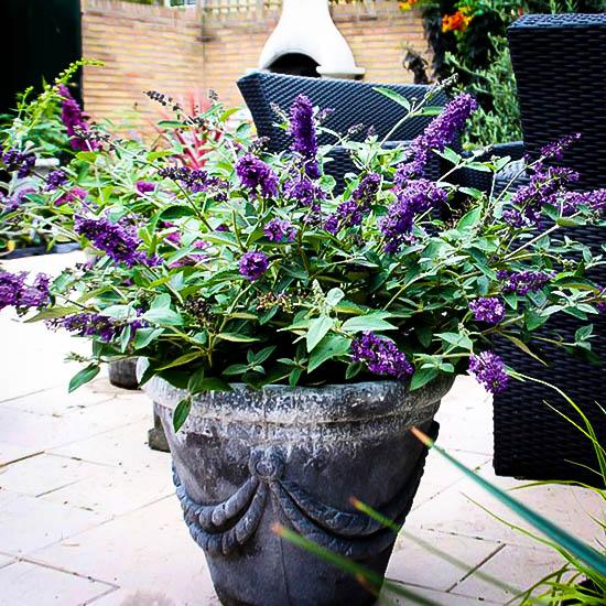 Flutterby Petite Blue Heaven Butterfly Bush The Tree Center