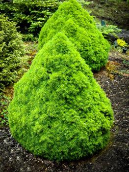 Humpty Dumpty Alberta Spruce