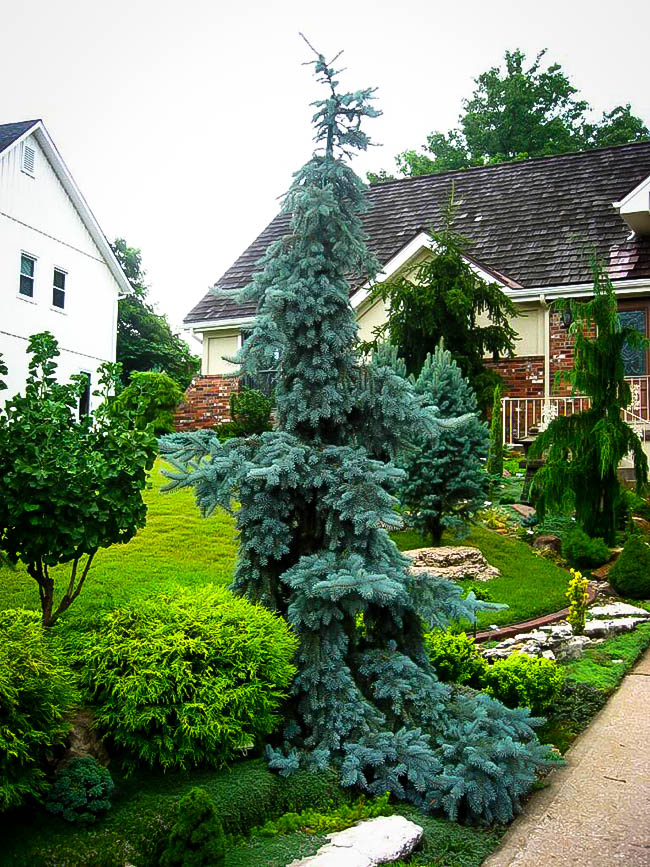 Weeping Blue Spruce Trees For Sale Online The Tree Center