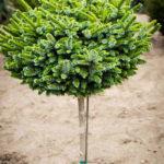 Pimoko Spruce Tree