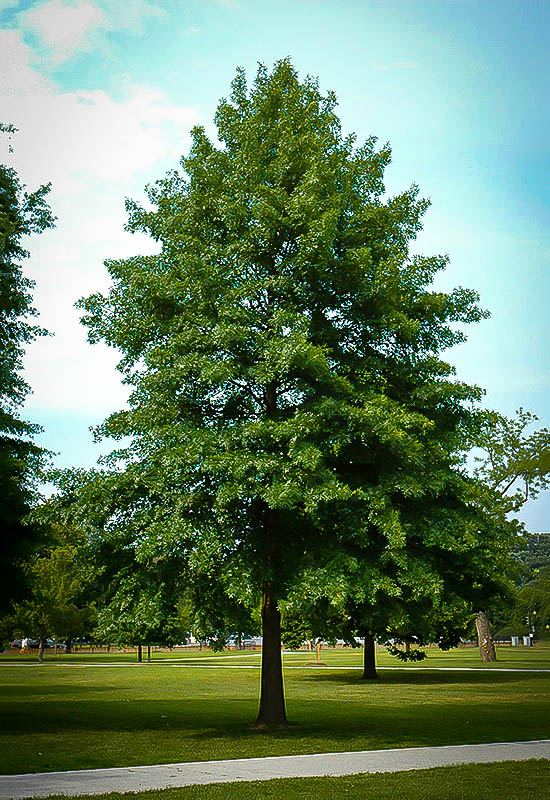 Pin Oak For Sale Online  The Tree Center-4244