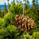 Pine Trees – Some Great Choices for Your Garden