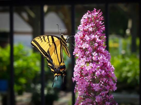 Pink Delight Butterfly Bush With Butterfly