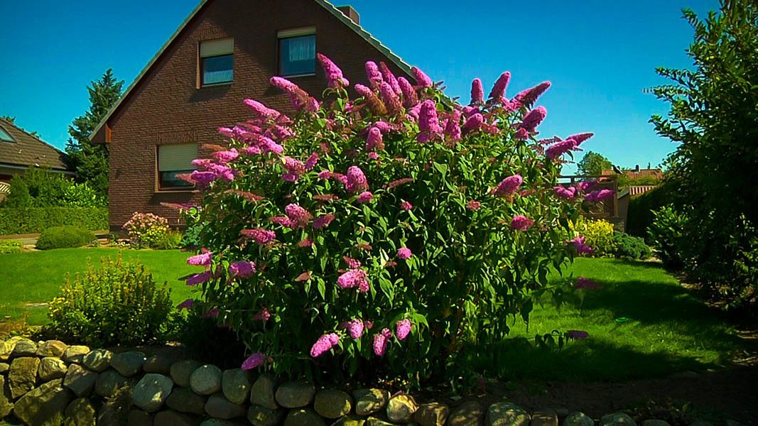 Pink Delight Butterfly Bush For Sale The Tree Center