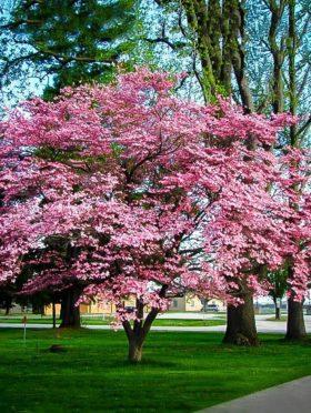 Pink Dogwood Tree In Bloom