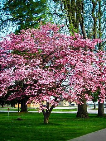Pink Dogwood Tree In Bloom